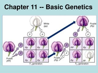 Chapter 11 -- Basic Genetics