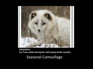 Adaptation: Fur Turns white during the cold snowy winter months.