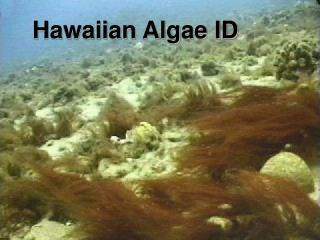 Hawaiian Algae ID