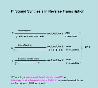 1 st  Strand Synthesis in Reverse Transcription