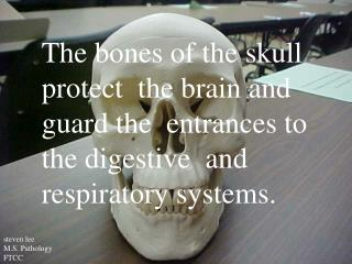 The bones of the skull  protect  the brain and  guard the  entrances to  the digestive  and  respiratory systems.