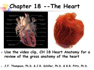 Chapter 18 --The Heart