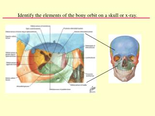Identify the elements of the bony orbit on a skull or x-ray.