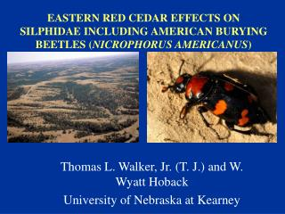 EASTERN RED CEDAR EFFECTS ON SILPHIDAE INCLUDING AMERICAN BURYING BEETLES ( NICROPHORUS AMERICANUS )
