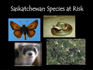 Saskatchewan Species at Risk