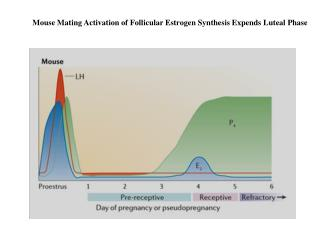 Mouse Mating Activation of Follicular Estrogen Synthesis Expends Luteal Phase