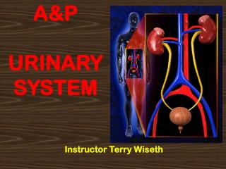 A&P URINARY SYSTEM