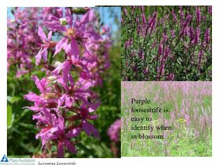 Purple loosestrife is easy to identify when in blossom.