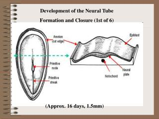 Development of the Neural Tube Formation and Closure (1st of 6)
