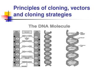 Principles of cloning, vectors and cloning strategies