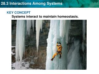 KEY CONCEPT  Systems interact to maintain homeostasis.