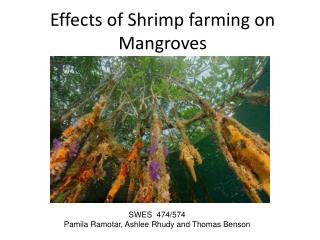 Effects of Shrimp farming on Mangroves