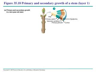 Figure 35.18 Primary and secondary growth of a stem (layer 1)
