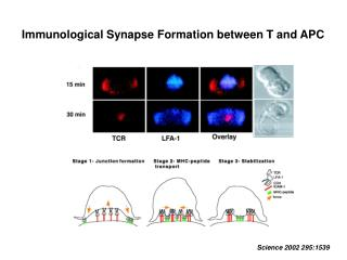Immunological Synapse Formation between T and APC