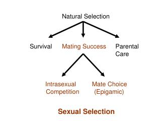 Natural Selection Survival	 Mating Success 	   Parental 					   Care Intrasexual	        Mate Choice 	Competition	(Epiga