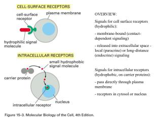 OVERVIEW: Signals for cell surface receptors (hydrophilic):