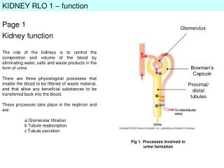 KIDNEY RLO 1 – function