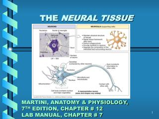 THE  NEURAL TISSUE MARTINI, ANATOMY & PHYSIOLOGY, 7 TH  EDITION, CHAPTER # 12 LAB MANUAL, CHAPTER # 7