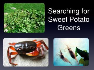 Searching for Sweet Potato Greens