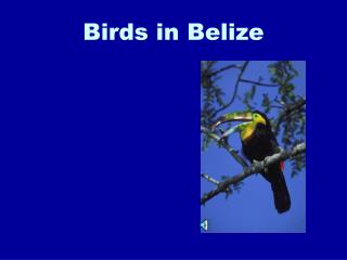 Birds in Belize