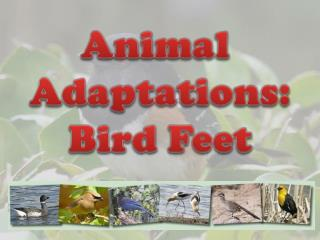 Animal  Adaptations: Bird Feet