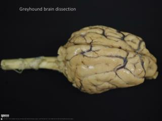 Greyhound brain dissection