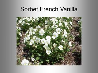 Sorbet French Vanilla