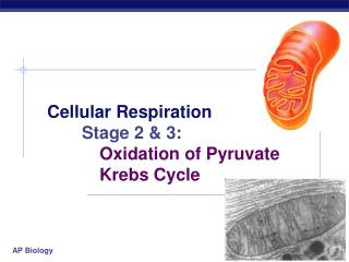 Cellular Respiration Stage 2 & 3: 		Oxidation of Pyruvate 		Krebs Cycle