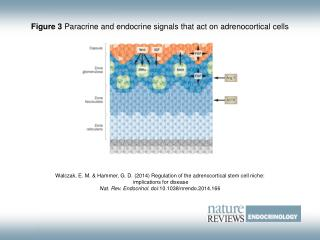 Figure 3  Paracrine and endocrine signals that act on adrenocortical cells