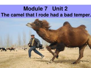 Module 7   Unit 2 The camel that I rode had a bad temper.