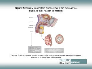 Figure 2  Sexually transmitted disease loci in the male genital