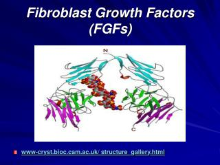 Fibroblast Growth Factors (FGFs)