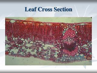 Leaf Cross Section