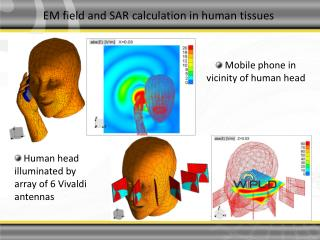 EM field and SAR calculation in human tissues