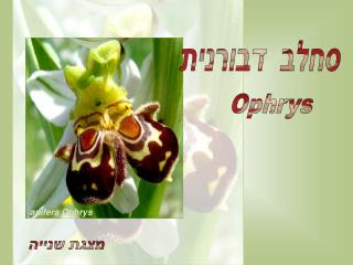 Ophrys