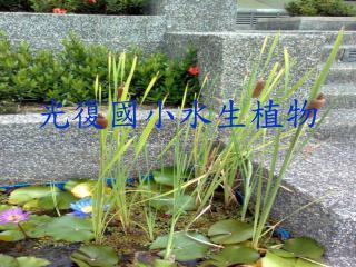 光復國小水生植物