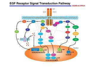 EGF Receptor Signal Transduction Pathway