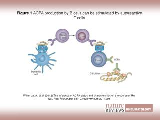 Figure 1 ACPA production by B cells can be stimulated by autoreactive T cells