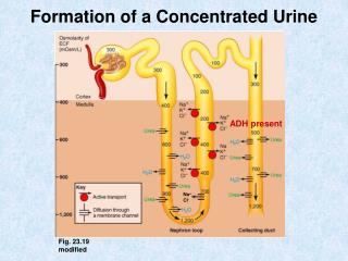 Formation of a Concentrated Urine