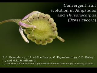 Convergent fruit evolution in  Athysanus  and  Thysanocarpus (Brassicaceae)