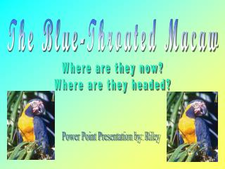 The Blue-Throated Macaw