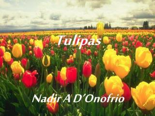 Tulipas Nadir A D'Onofrio