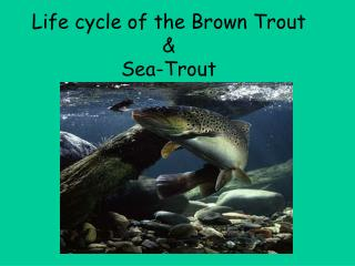 Life cycle of the Brown Trout  &  Sea-Trout