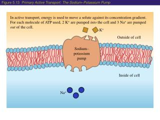 In active transport, energy is used to move a solute against its concentration gradient. For each molecule of ATP used,