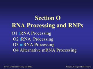O1 rRNA Processing and Ribosome