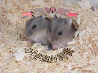 ★三線鼠★
