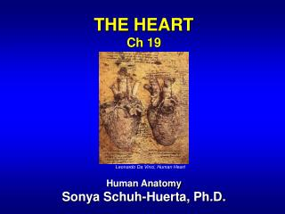 THE HEART Ch 19 Human Anatomy Sonya Schuh-Huerta, Ph.D.
