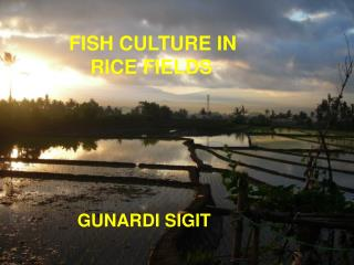 FISH CULTURE IN  RICE FIELDS