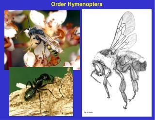 Order Hymenoptera