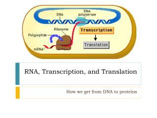 RNA, Transcription, and Translation